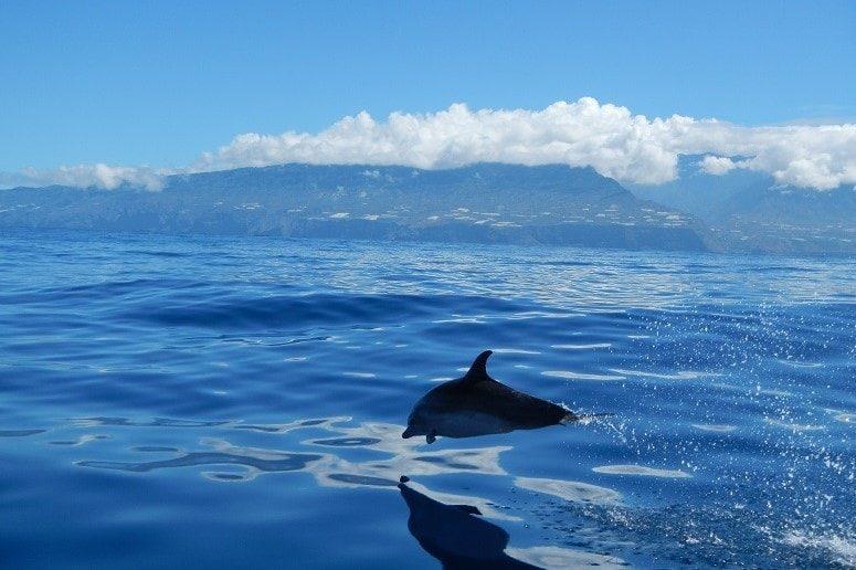 Dolphin in front of La Palma, Boat Trip