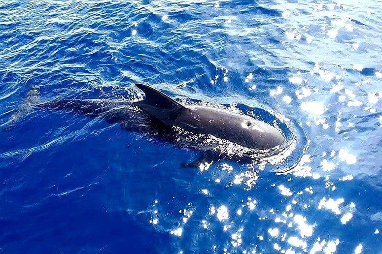 Dolphin, La Palma