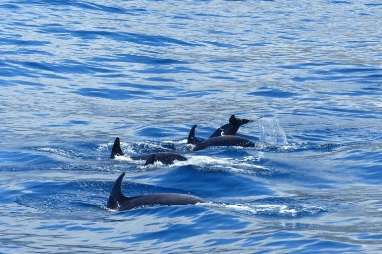 Dolphins La Palma, Boat Trip