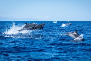 Dolphins in front of the island La Palma
