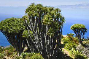 Drachenbäume, La Palma