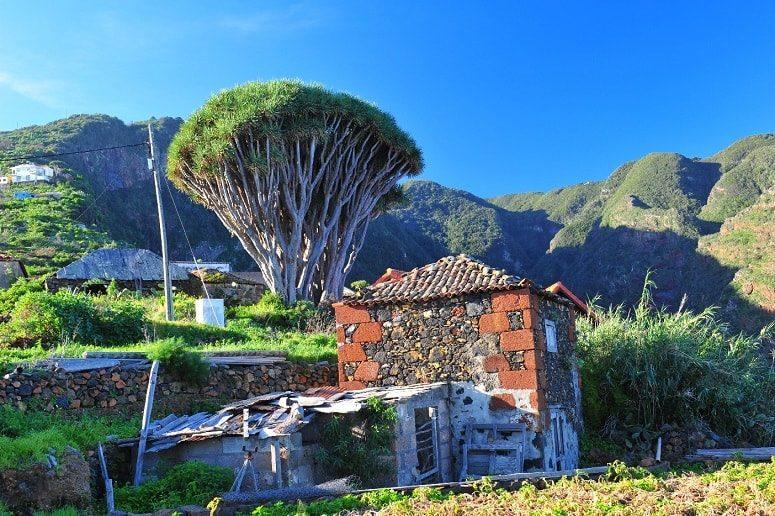 Dragobaum, La Palma