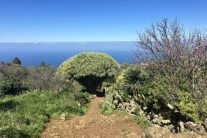 Dragon Tree, La Palma