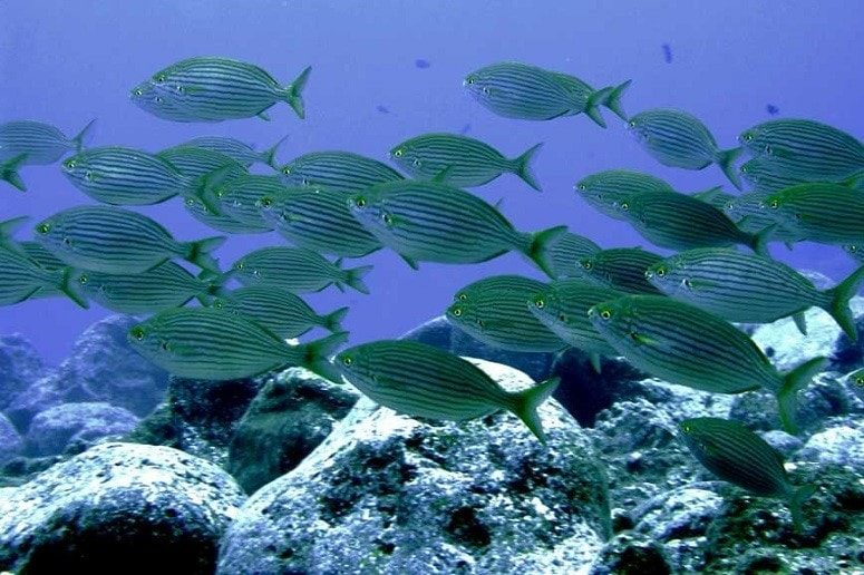 Fish swarm, Atlantic, La Palma