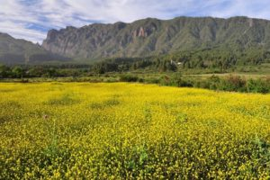 Flores amarillas, Montaña, La Palma