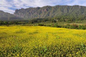 Yellow Flowers, Mountains, La Palma