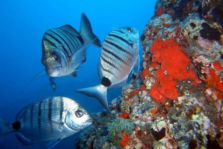 Corals, Fish, La Palma