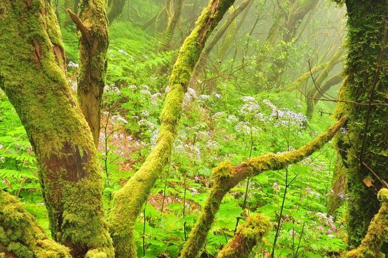 Laurel Forest, La Palma