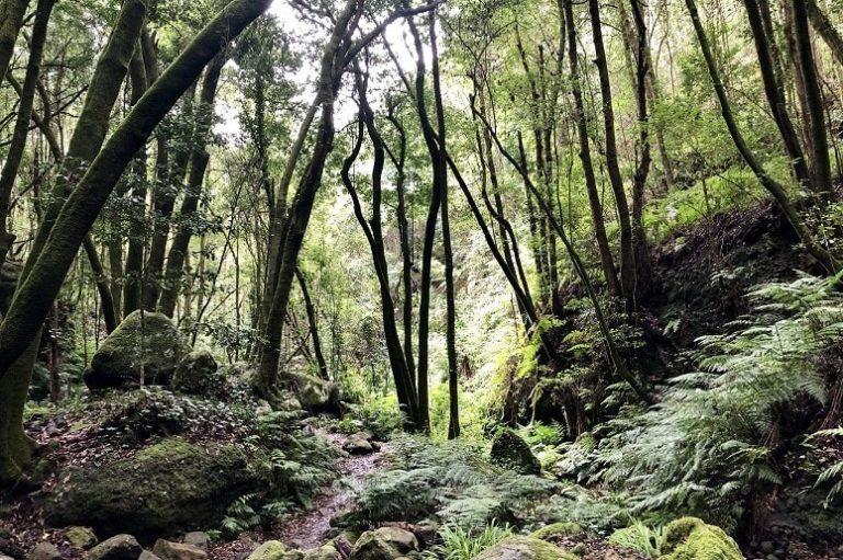 Laurel forest Los Tilos, La Palma