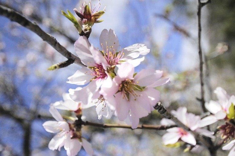 Almond blossom, La Palma