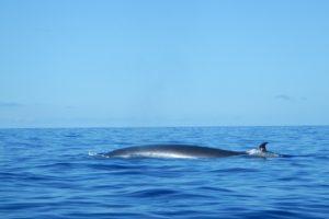 Avistamiento de ballenas y delfines en La Palma