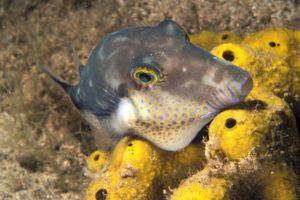 Kugelfisch vor La Palma