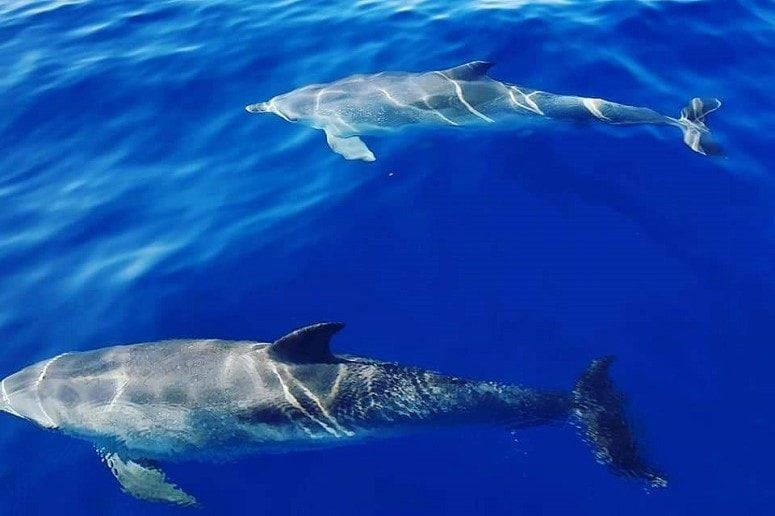 Dolphins, Tenerife, Atlantic Ocean