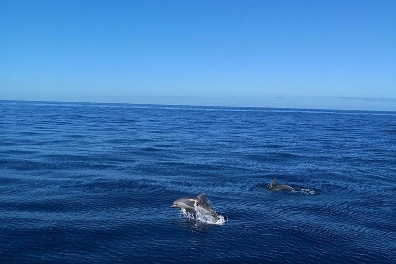 Dolphins, Tenerife, Whale Watching Tenerife