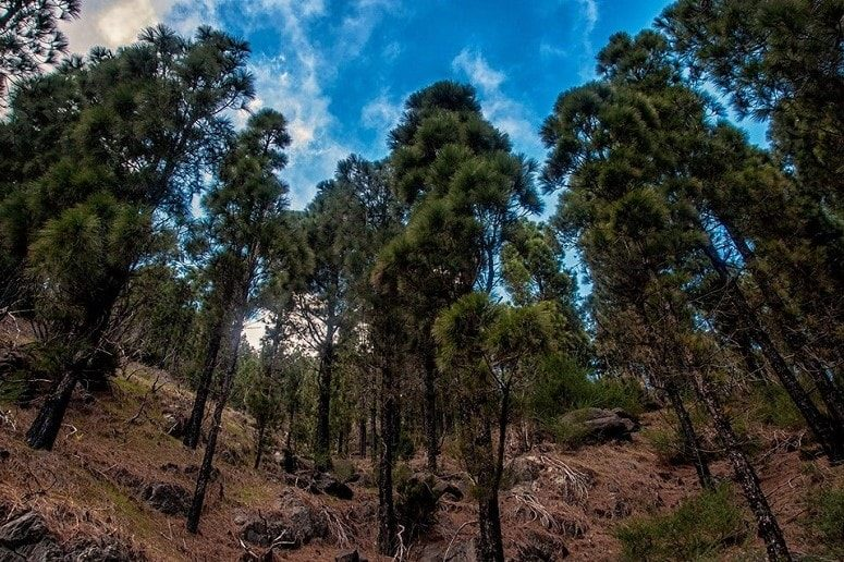 Pine Forest, Hiking on Tenerife