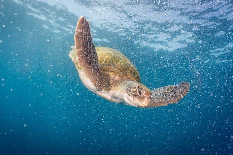 Schildkröte, Schnorcheln Teneriffa