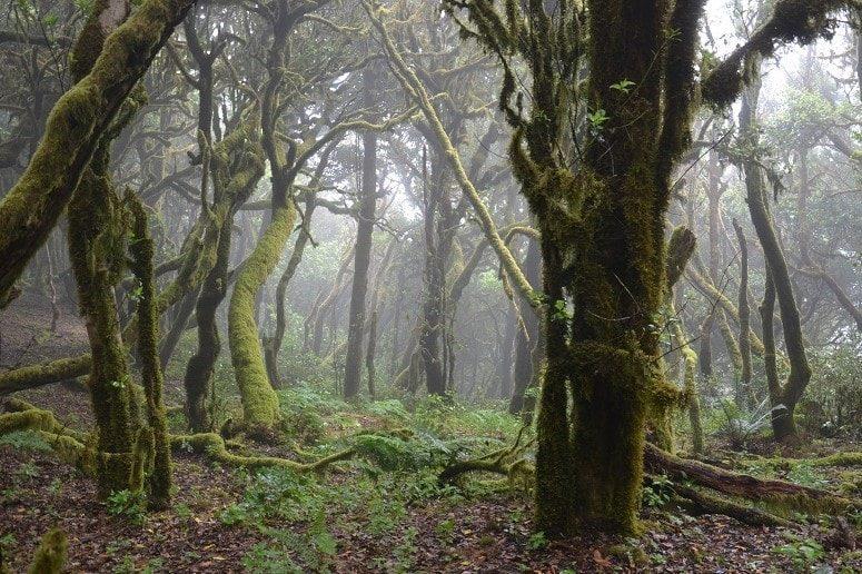 Mystischer Wald auf La Gomera