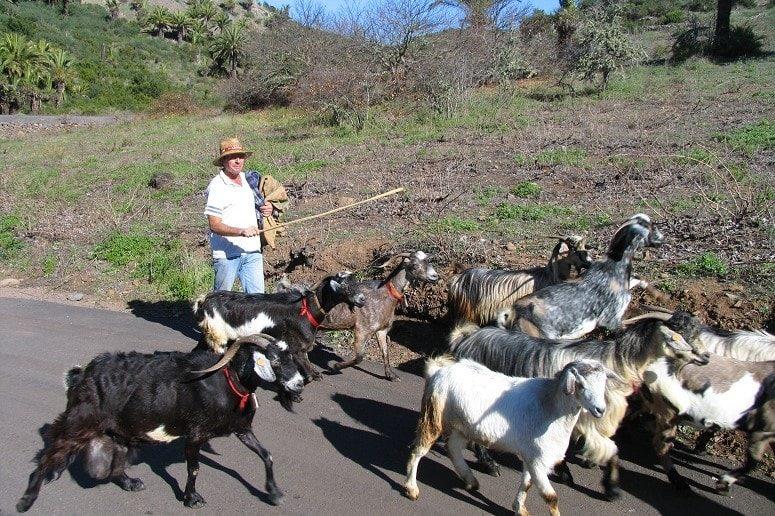 Guided hike La Gomera, Goats