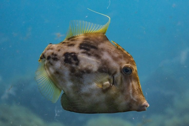 Esnórquel La Palma, Filefish