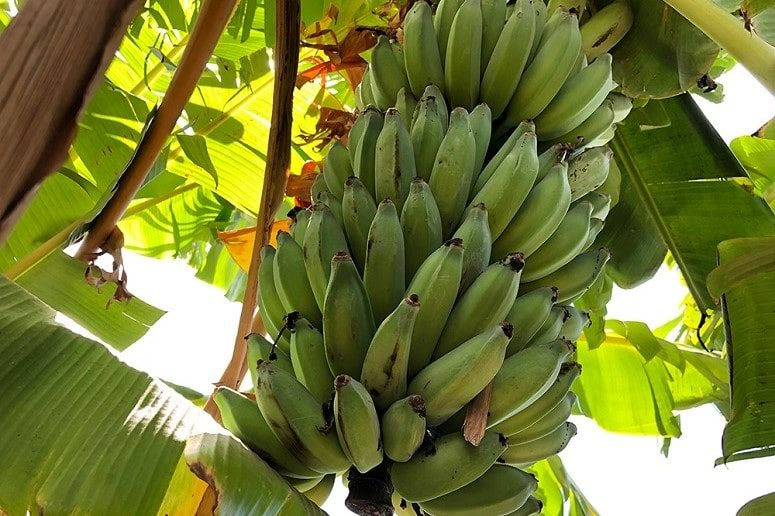Plátanos, Finca, La Palma