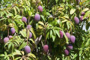 Mangobaum, Mango Finca, La Palma, Führung