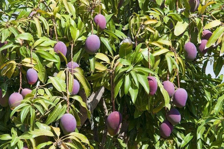 Mango Tree, Mango Finca, La Palma, Guided Tour