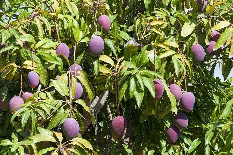 Mango Tree, Mango Finca, La Palma, Guided Tour
