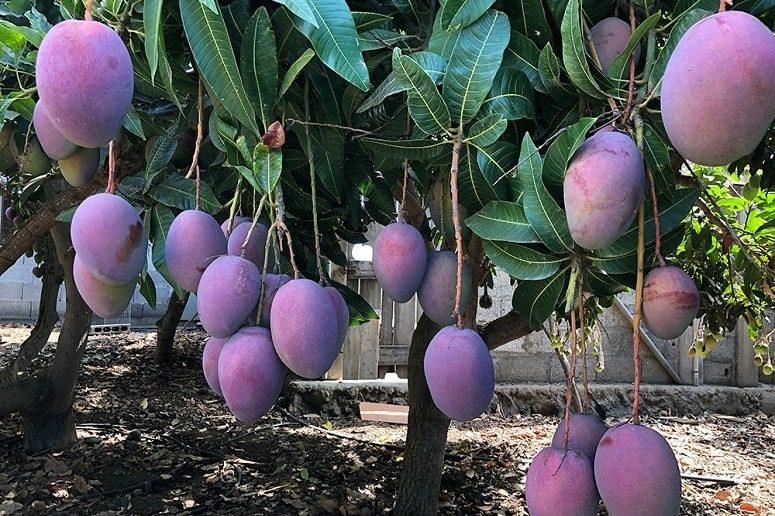 Mangos, La Palma, Visita Guiada, Mango Finca
