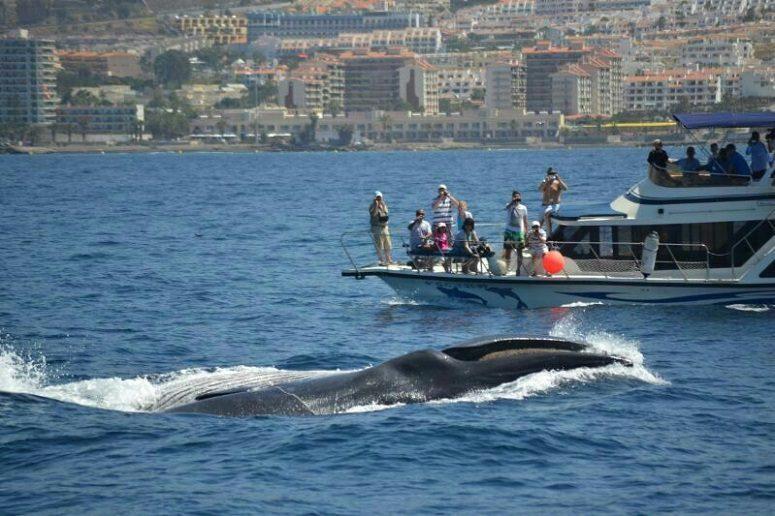 Wal vor Teneriffa, Whale Watching, Teneriffa